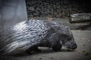Das Stachelschweine ließ sich mit einer Walnuss herauslocken.